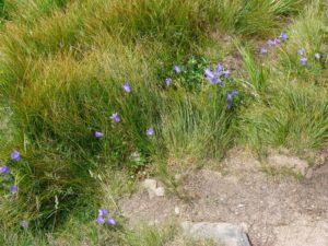 Гірські квітки