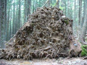 Корінь поваленого дерева